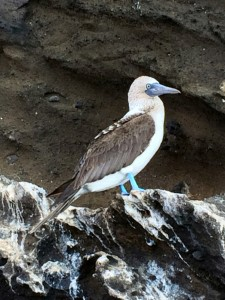 Blue footed boobie Galapagos South Land Touring Ecuador