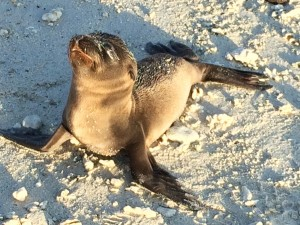 baby sea lion galapagos south land touring ecuador